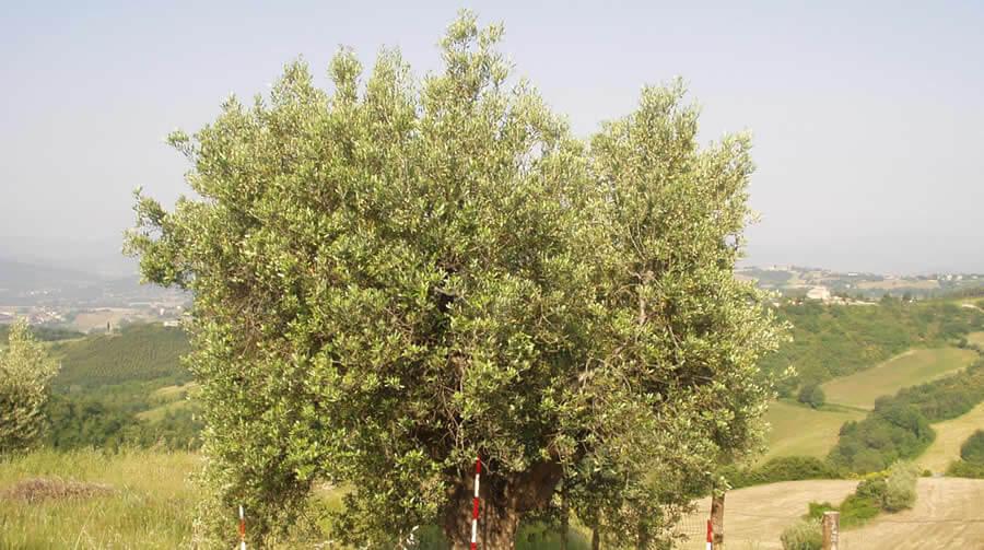 Olivo Gentile grande - Biodiversità Umbria