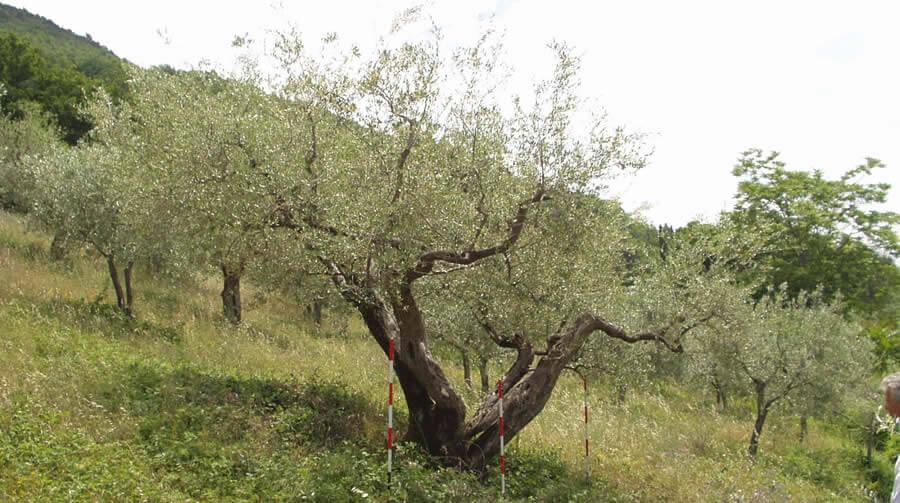 Olivo Gnacolo - Biodiversità Umbria