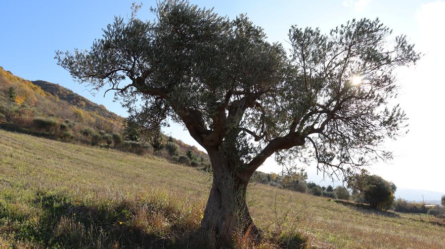 Olivo nostrale RIgali - Biodiversità Umbria