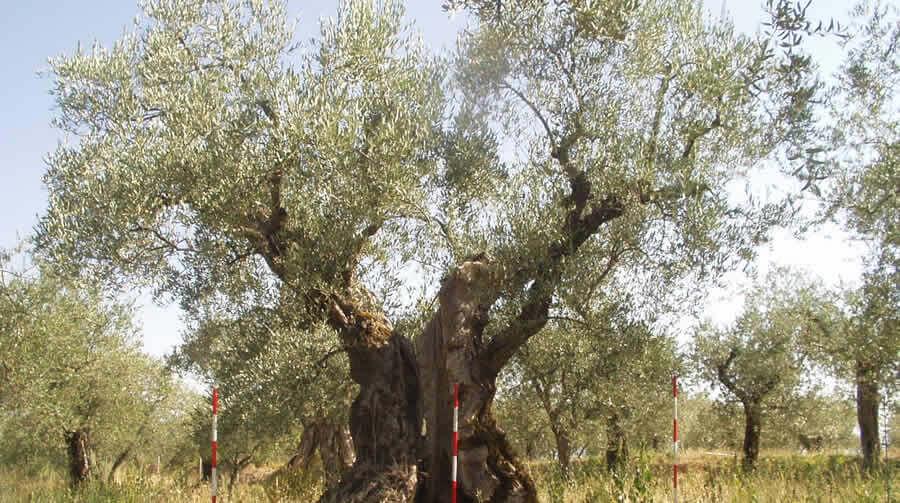 Olivo San Felice - Biodiversità Umbria