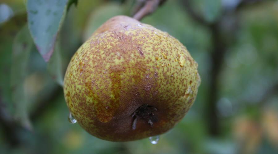 Pera Ruzza - Biodiversità Umbria