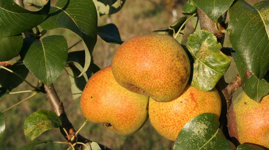 Pera sementina - Biodiversità Umbria