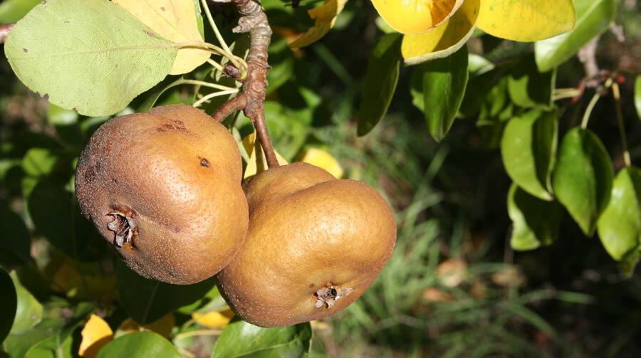 Pera Marzaiola - Biodiversità Umbria