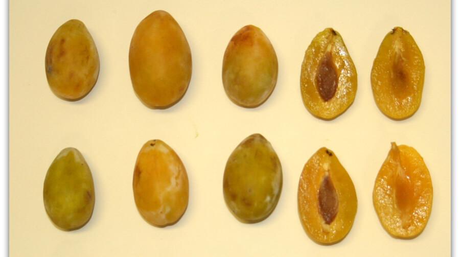 Susina Armascia gialla - Biodiversità Umbria