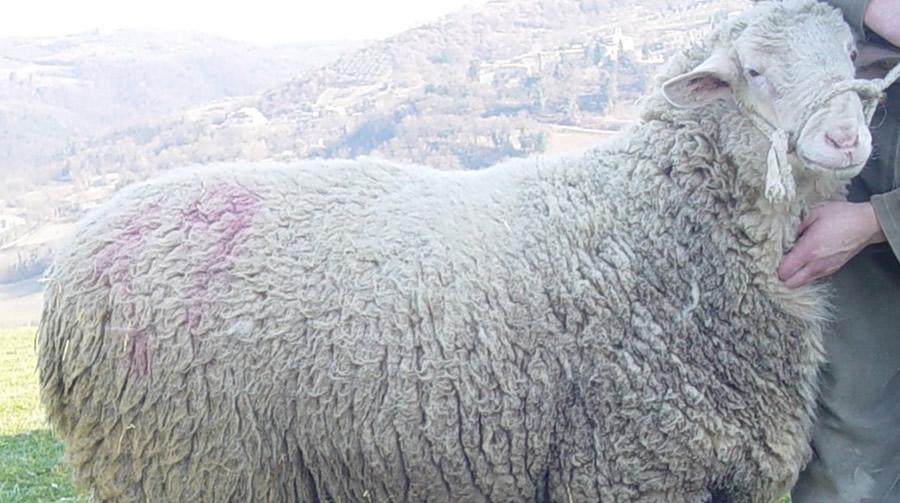 Pecora appenninica - Biodiversità Umbria