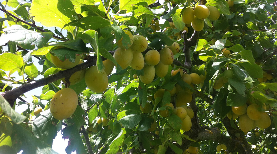 Susina cosciamonaca gialla - Biodiversità Umbria