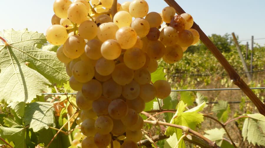 Vite Dolciame - Biodiversità Umbria