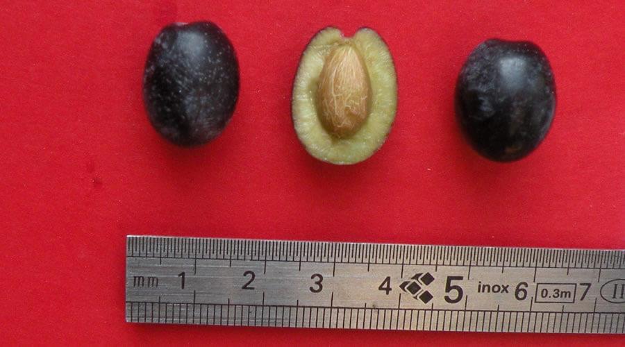 Olivo Dolce Agogia - Biodiversità Umbria