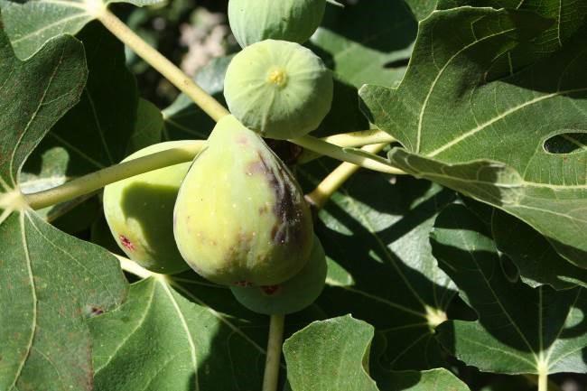 Fico cuore | Biodiversità Umbria