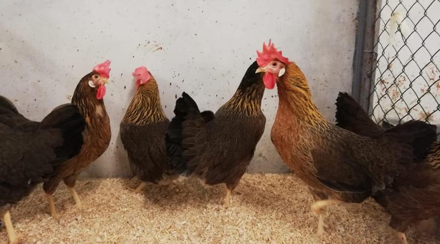 Pollo livorno collo oro - Biodiversità